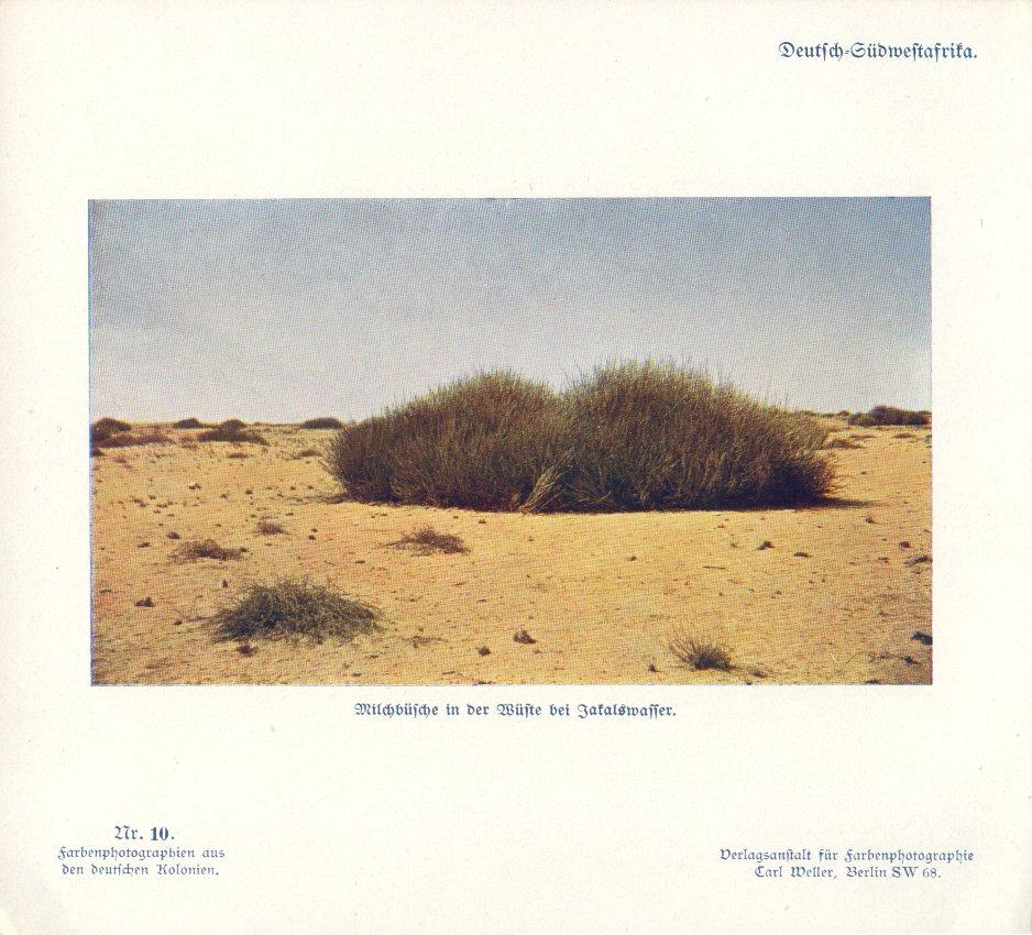 Nr. 10 Deutsch-Südwestafrika, Milchbüsche in der Wüste bei Jakalswasser